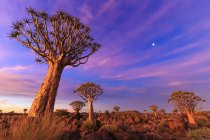 Quiver Tree Forest at sunset — Stock Photo