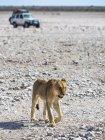 Namibia, Okaukuejo, Etosha National Park, young female lions and safari jeep — Stock Photo