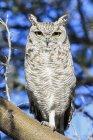 Botswana, Kalahari, Central Kalahari Game Reserve, spotted eagle owl assis sur une branche — Photo de stock