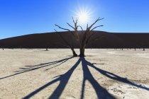 Namibia, Namib Naukluft, deserto del Namib, acacias morto su argilla pan a retroilluminazione — Foto stock