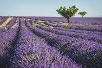 Lavender field near Valensole — Stock Photo
