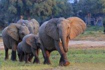 Herd of elephants with young animals, Mana Pools National Park, Zimbabwe, Africa — Stock Photo