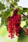 Groseilles rouges poussant sur la plante — Photo de stock