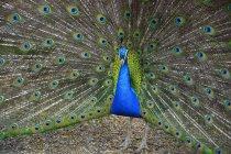 Индийский павлин показывает свой разноцветный хвост — стоковое фото