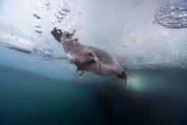 Baikal seal under blue sea water at Lake Baikal, Russia — Stock Photo