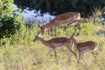 Zimbabwe, Urungwe District, Mana Pools National Park, three impalas — Stock Photo