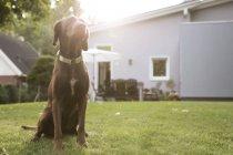 Germany, Eggersdorf, dog sitting on lawn in garden — Stock Photo