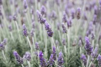 Floración de lavanda en el campo, vista de cerca - foto de stock