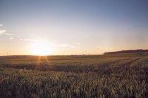 Champ de blé contre le soleil de blé — Photo de stock