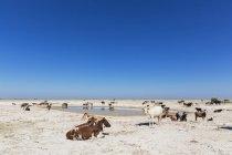 Ботсвана Калахарі, стада великої рогатої худоби на waterhole — стокове фото