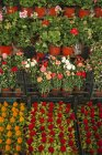 Closeup of pots with colorful flowers at marketplace — Stock Photo