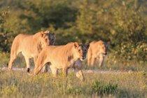 Намибия, Национальный парк Этоша, Группа Львов на лугу в вечернее солнце — стоковое фото