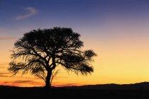 Namíbia, deserto do Namibe, Namib Naukluft National Park, acácia, ao pôr do sol — Fotografia de Stock