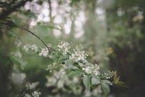 Квітучої гілки крупним планом у поданні Prunus padus, навесні — стокове фото