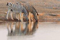 Zebre di pianura al foro di acqua al Parco nazionale di Etosha, Namibia — Foto stock