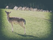Roe deer standing on a meadow, deers herd on background — Stock Photo