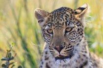 Портрет леопард закрыть вид — стоковое фото