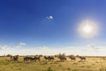 Namibia, Etoscha-Nationalpark, Herde von Flachzebras tagsüber — Stockfoto