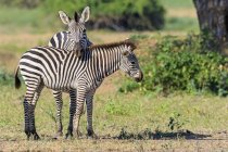 Zimbabwe, Urungwe District, Mana Pools National Park, two burchells zebras — Stock Photo