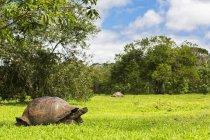 Ecuador, Isole Galapagos, Tartarughe delle Galapagos su un prato — Foto stock