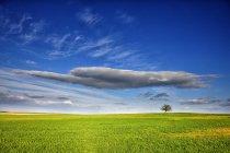 Vue éloignée de l'arbre vert au milieu du champ de la récolte à la Province de Zamora, Espagne — Photo de stock