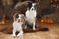 Miniature Australian Shepherds sitting on sheepskin in barn — Stock Photo