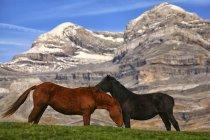 Spain, Ordesa National Park, horses on mountain meadow at Monte Perdido massif — Stock Photo