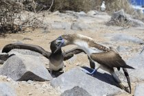 Daytime view of blue-footed booby feeding young one — Stock Photo