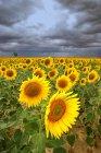 Spain, Reserva natural de Lagunas de Villafafila, Field of sunflowers — Stock Photo