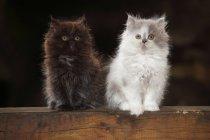 Dois gatinhos British Longhair sentado na trave de madeira — Fotografia de Stock
