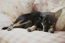 Tired small dog lying on couch — Stock Photo