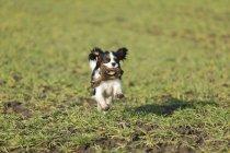 Кавалер Король Чарльз Спаниель щенок бежит по лугу с игрушкой во рту — стоковое фото