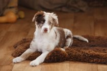 Australian Shepherd puppy lying on fur blanket in barn — Stock Photo