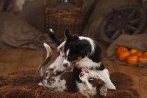Cuccioli pastore australiano che giocano sulla pelle di pecora nel fienile — Foto stock