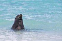 Vista diurna del leone marino delle Galapagos in acqua — Foto stock