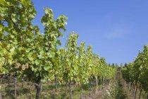 Regione di Francia, Alsazia, vino alsaziano Route, Haut-Rhin, Riquewihr, vigneti durante il giorno — Foto stock