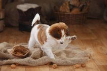Kooikerhondje puppy playing with walnuts on sackcloth in barn — Stock Photo