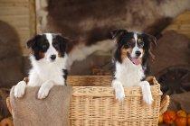 Australischer Schäferhund und australischer Schäferhund im Korb in der Scheune — Stockfoto