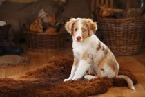 Miniature Australian Shepherd puppy sitting on fur blanket — Stock Photo