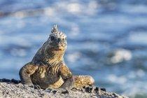 Ecuador, Isole Galapagos, Fernandina, Marine iguana, Amblyrhynchus cristatus, seduta sulla pietra — Foto stock