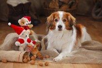 Собака Kooikerhondje лежит возле рождественских украшений на деревянном полу в сарае — стоковое фото