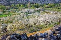 Живописный вид на зеленые долины с цветения вишни деревья в Valle del Jerte, Эстремадура, Испания — стоковое фото
