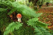España, Parque Natural de Urkiola, Mosca agárica bajo helechos - foto de stock