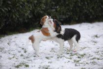 Cavalier King Charles Spaniel and Kooikerhondje puppies playing on snow-covered meadow — Stock Photo