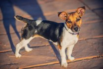 Jack Russell Terrier looking at camera outdoors — Stock Photo