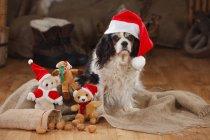 Cavalier Roi Charles Spaniel avec casquette de Noël assis sur le sol en bois dans la grange avec des jouets de Noël — Photo de stock