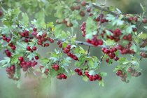 Close up of red hawthorn berries, Crataegus monogyma — Stock Photo