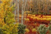 Spagna, Cuenca, Coltivazione di vimini a Canamares in autunno — Foto stock
