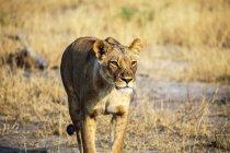 Botswana, Okavango-Delta, Löwin-Jagd in der Abendsonne — Stockfoto