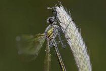Calopteryx splendens dragnfly на завод — стокове фото